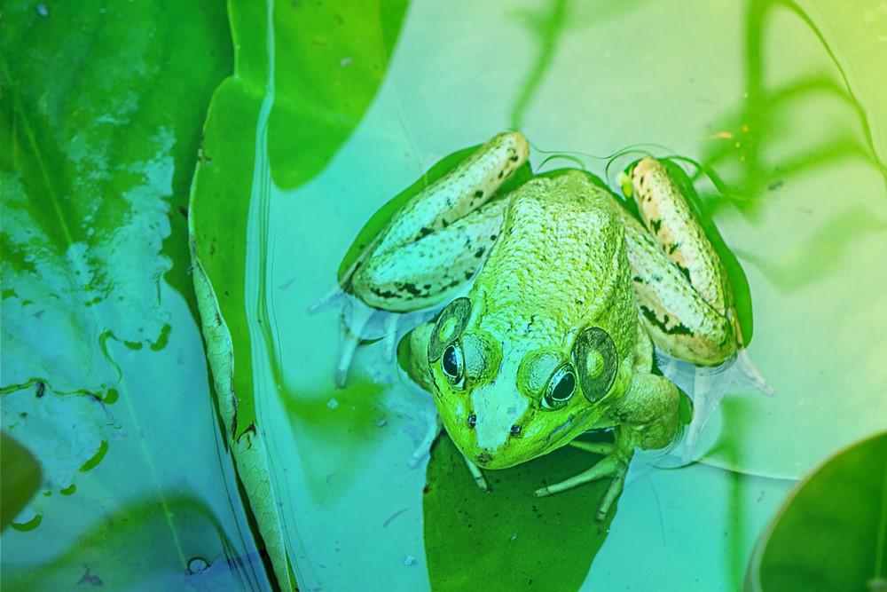 Œufs de grenouilles