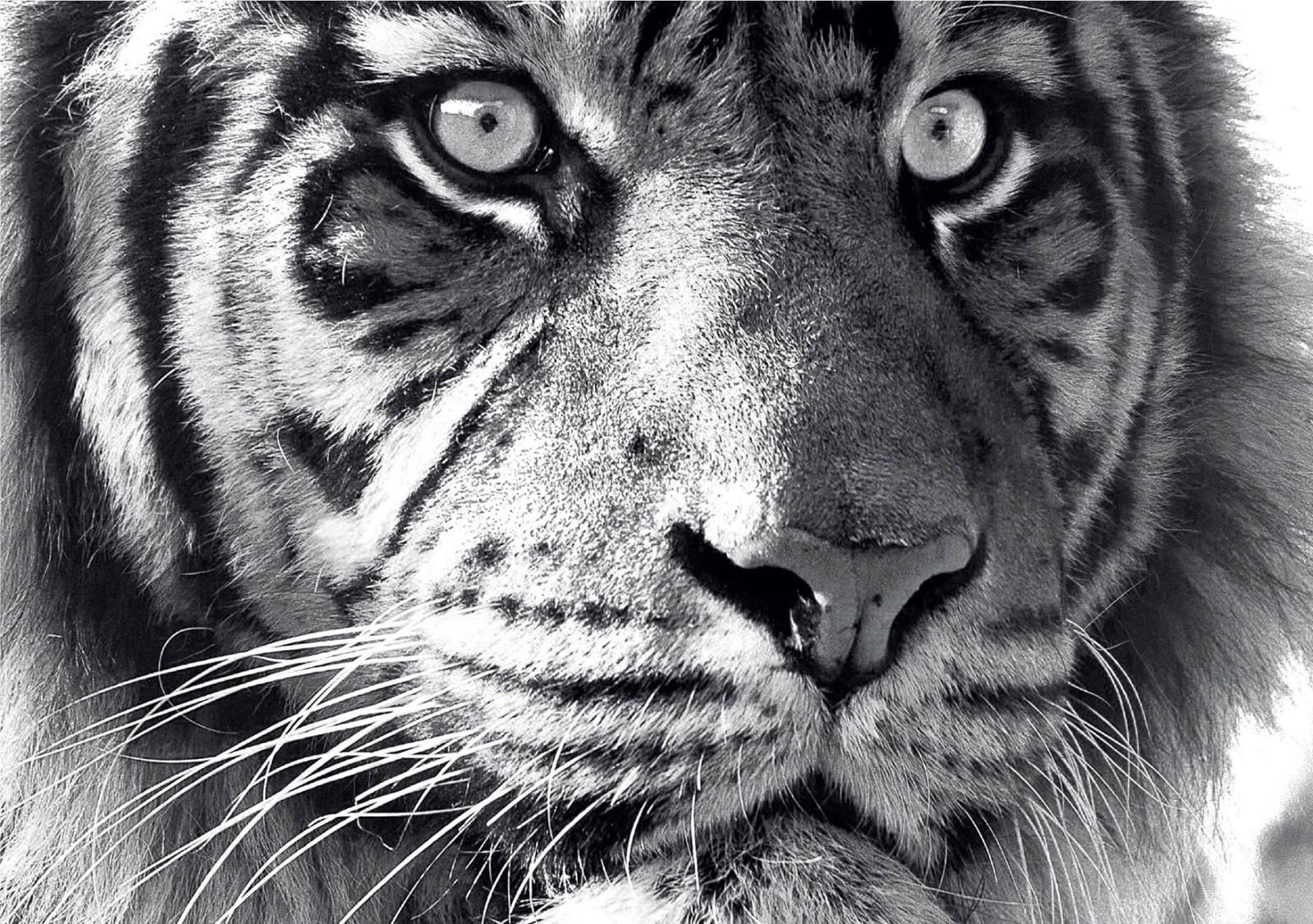 Animaux - Tigre Noir et Blanc