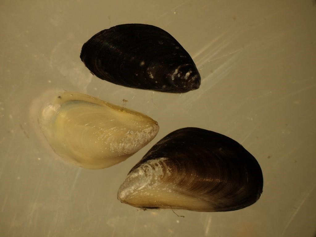 Moules quagga