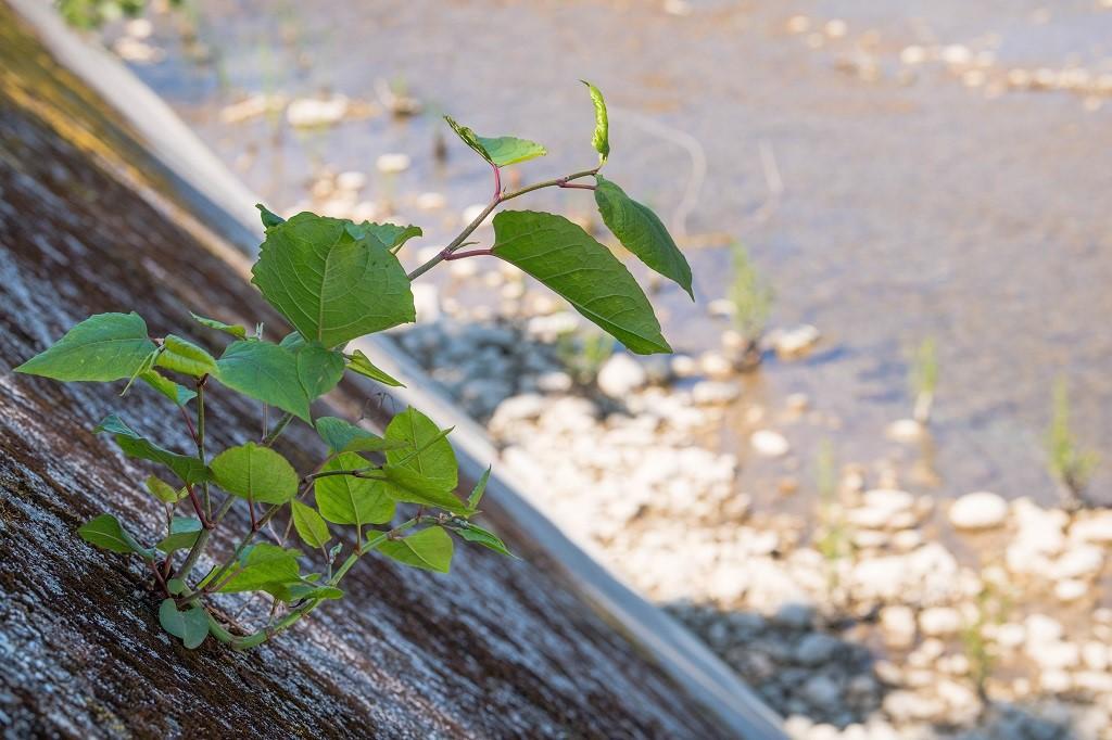 La renouée du Japon, une plante très vigoureuse