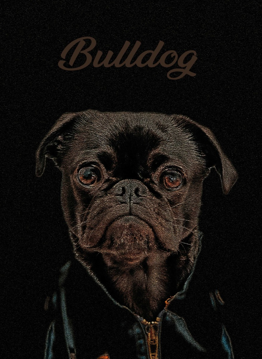 Animaux - Portrait Bulldog