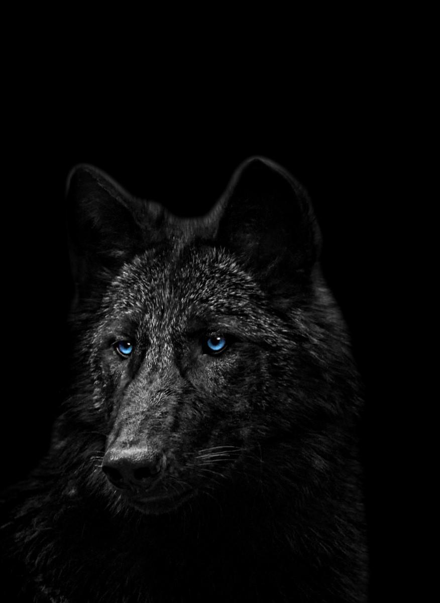 Animaux - Le loup