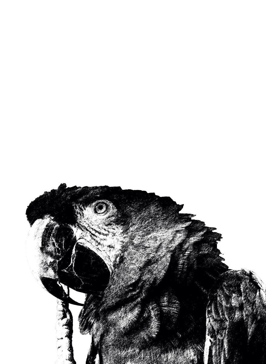 Animaux - Perroquet noir et blanc