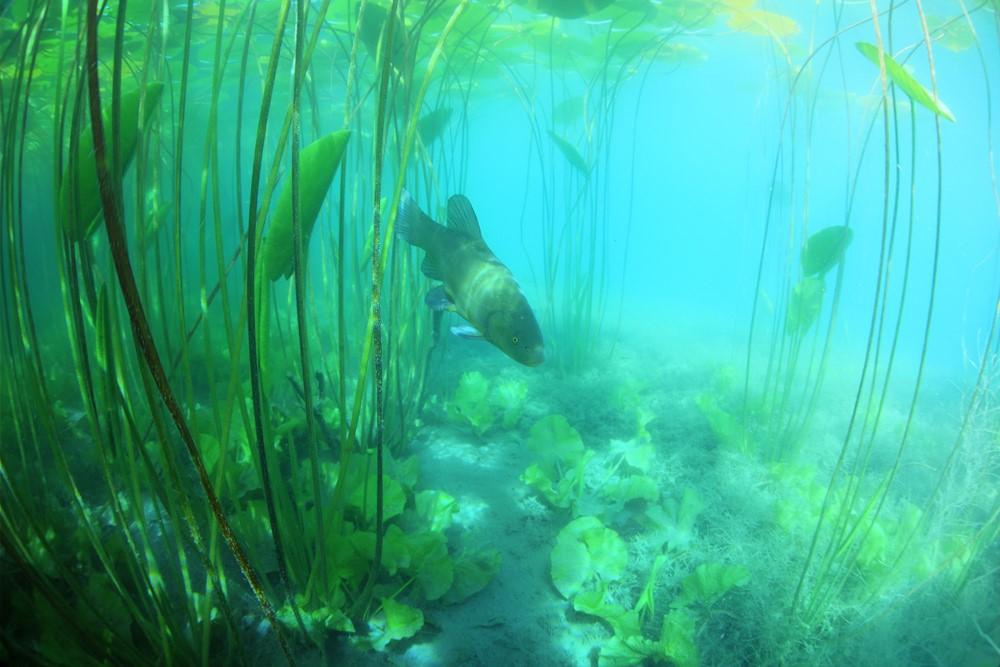 Les algues et herbiers du lac