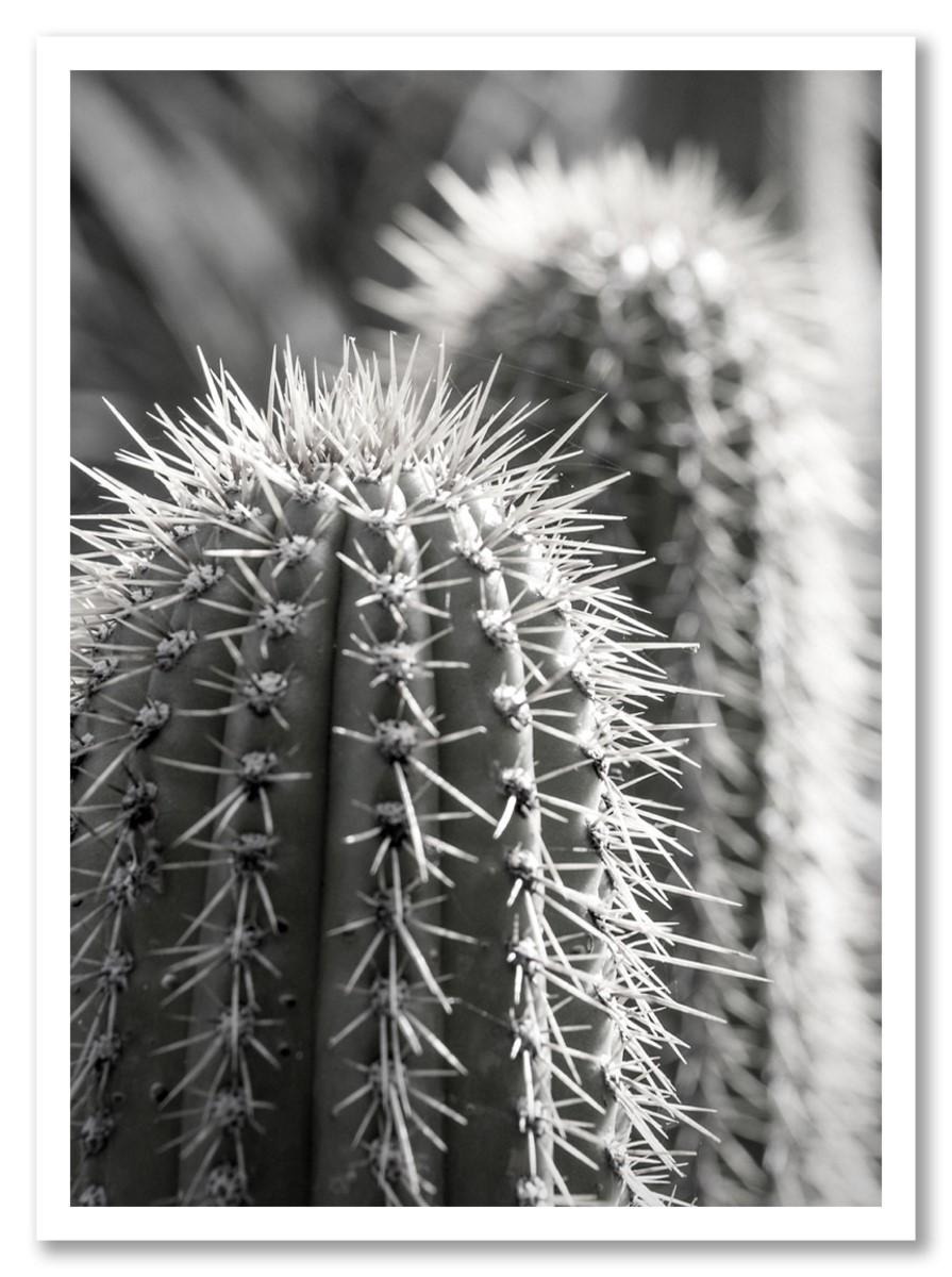 Cactus - Piquant