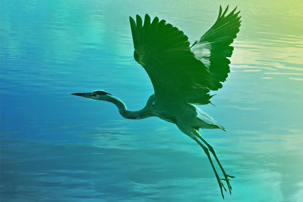 aqualis - héron en vol