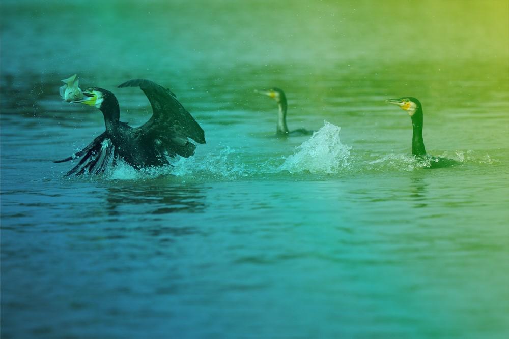 aqualis - cormoran en acte de pêche