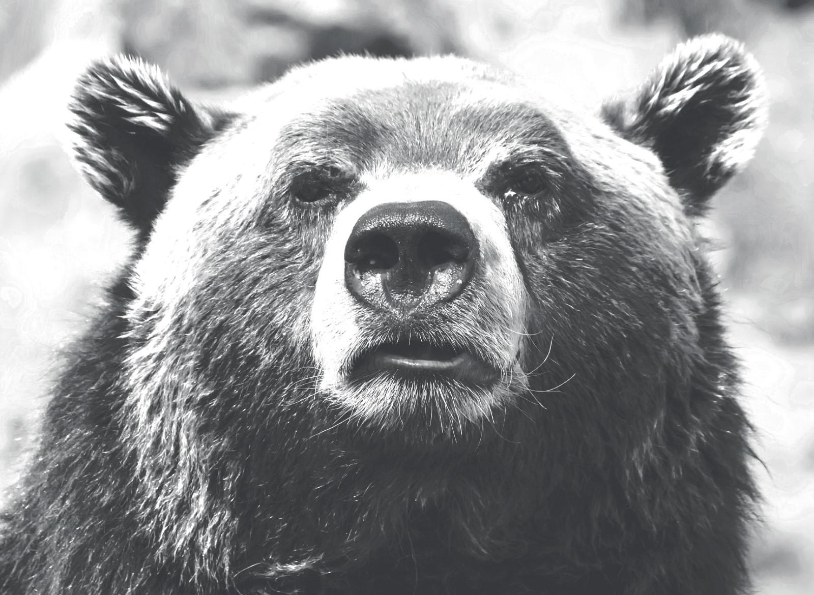 Animaux - Ours Noir et Blanc
