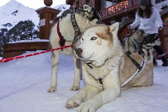 chiens des traineaux - Les Arcs