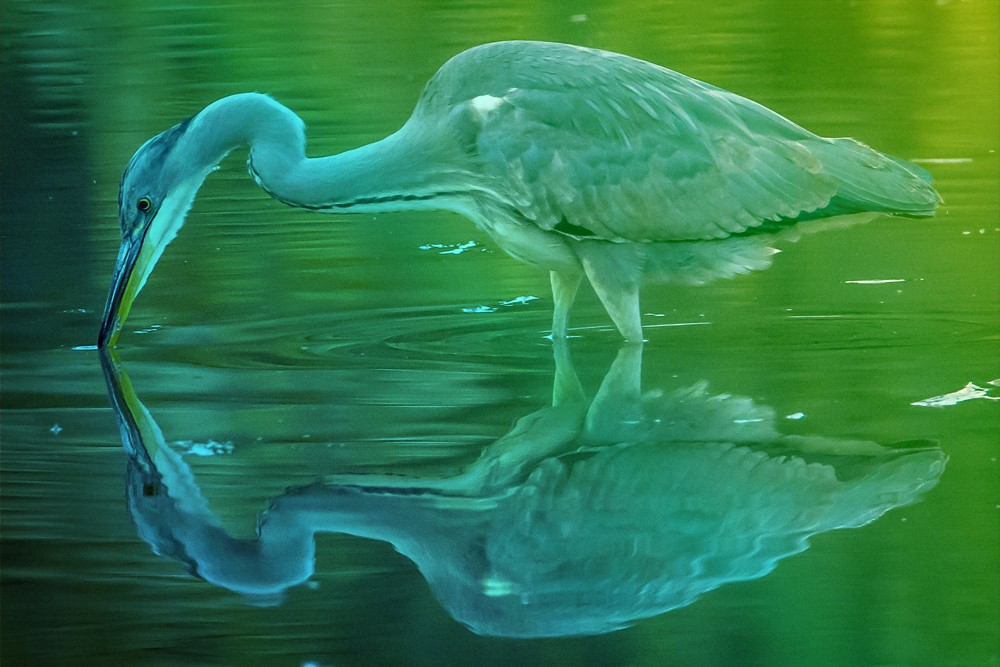 Oiseaux du lac du Bourget