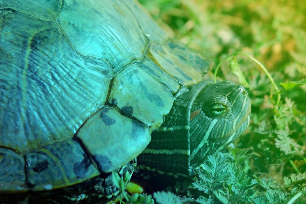 La tortue, cet ancêtre
