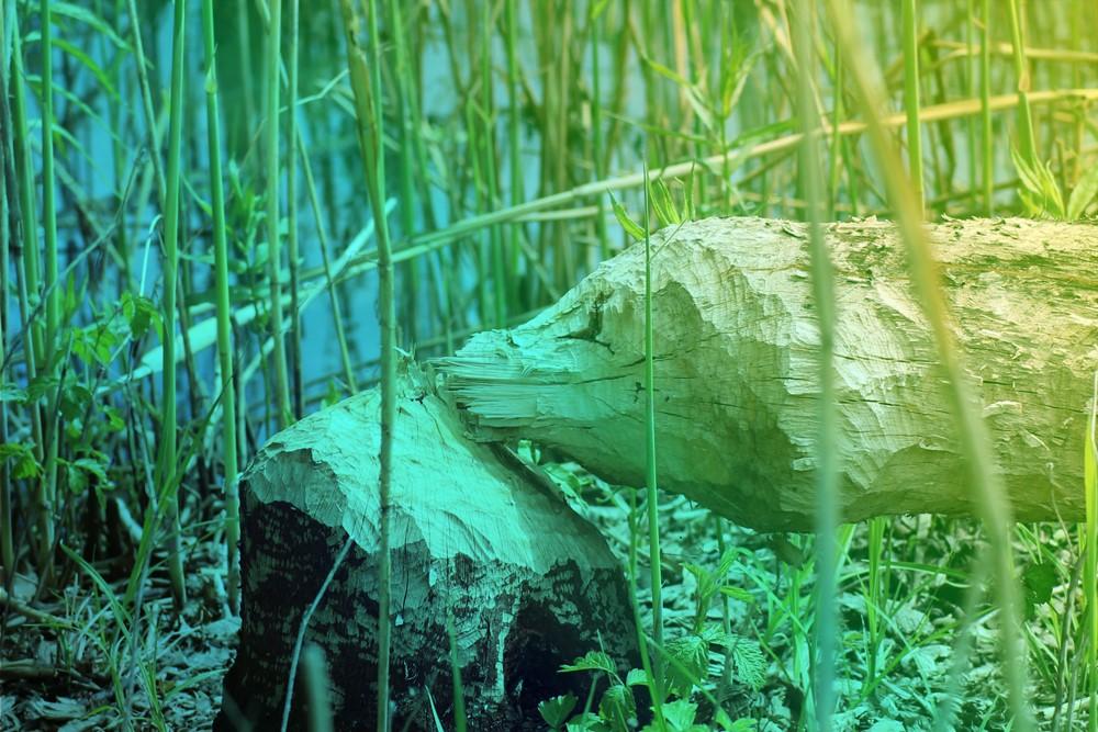 aqualis - En quête de traces de castor