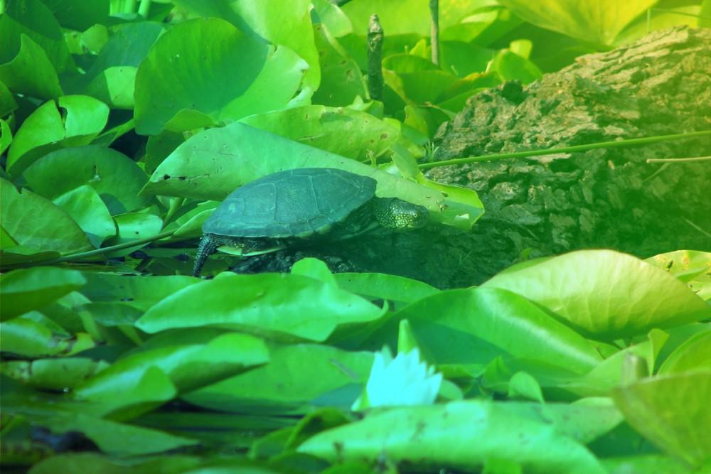 Les tortues d