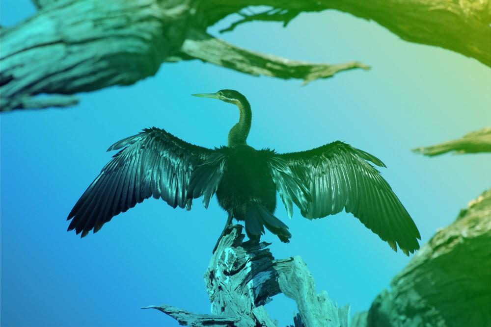 aqualis - cormoran sur un arbre mort